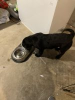 Labrador Retriever Puppies for sale in Cornwall, NY, USA. price: NA