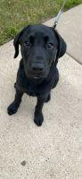 Labrador Retriever Puppies for sale in Waukegan, IL, USA. price: NA