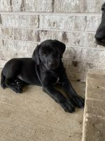Labrador Retriever Puppies for sale in Aubrey, TX, USA. price: NA