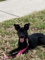 Labrador Retriever Puppies for sale in Schertz, TX, USA. price: NA