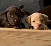 Labrador Retriever Puppies for sale in La Fayette, AL 36862, USA. price: NA