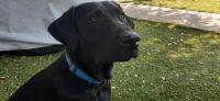 Labrador Retriever Puppies for sale in Santa Barbara, CA, USA. price: NA