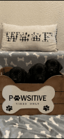 Labrador Retriever Puppies for sale in Suffolk County, NY, USA. price: NA