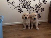Labrador Retriever Puppies for sale in Virginia City, NV 89440, USA. price: NA