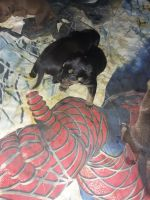 Labrador Retriever Puppies for sale in 3204 OH-109, Delta, OH 43515, USA. price: NA