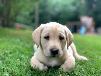 Labrador Retriever Puppies for sale in Hugo, MN, USA. price: NA