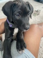 Labrador Retriever Puppies for sale in Indianapolis, IN, USA. price: NA