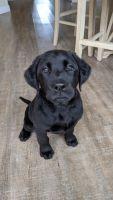 Labrador Retriever Puppies for sale in Lompoc, CA, USA. price: NA