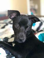 Labrador Retriever Puppies for sale in Emeryville, CA, USA. price: NA