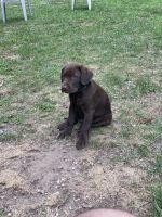 Labrador Retriever Puppies for sale in Randolph, MA 02368, USA. price: NA