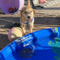 Labrador Retriever Puppies for sale in 2695 Anita Ave, Lake Havasu City, AZ 86404, USA. price: NA