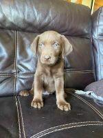 Labrador Retriever Puppies for sale in Finlayson, MN 55735, USA. price: NA