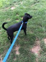 Labrador Retriever Puppies for sale in Philadelphia, PA, USA. price: NA