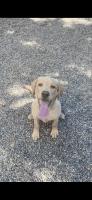 Labrador Retriever Puppies for sale in Shingle Springs, CA 95682, USA. price: NA