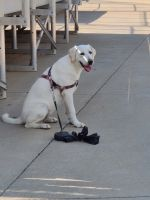 Labrador Retriever Puppies for sale in Jeffersonville, IN, USA. price: NA