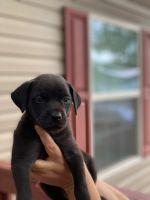 Labrador Retriever Puppies for sale in North Chesterfield, VA 23237, USA. price: NA