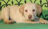Labrador Retriever Puppies for sale in Cashmere, WA 98815, USA. price: NA