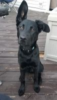 Labrador Retriever Puppies for sale in Plainfield, IL, USA. price: NA