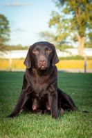 Labrador Retriever Puppies for sale in Harlan, IN, USA. price: NA