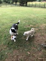 Labrador Retriever Puppies for sale in Millstone, NJ, USA. price: NA