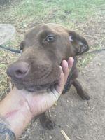 Labrador Retriever Puppies for sale in Waco, TX, USA. price: NA
