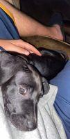Labrador Retriever Puppies for sale in Johnson City, TN, USA. price: NA