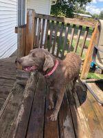 Labrador Retriever Puppies for sale in Clinton, IA, USA. price: NA