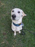 Labrador Retriever Puppies for sale in Ogden, UT, USA. price: NA