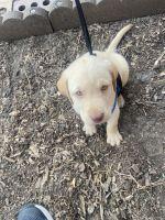 Labrador Retriever Puppies for sale in Aurora, CO, USA. price: NA