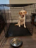 Labrador Retriever Puppies for sale in Waxahachie, TX, USA. price: NA