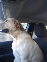 Labrador Retriever Puppies for sale in Rome, GA, USA. price: NA