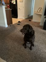 Labrador Retriever Puppies for sale in Brooklyn, OH, USA. price: NA