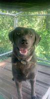 Labrador Retriever Puppies for sale in Leasburg, MO 65535, USA. price: NA