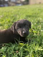 Labrador Retriever Puppies for sale in Fort Campbell, KY, USA. price: NA