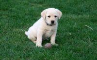 Labrador Retriever Puppies for sale in 9840 Fondren Rd, Houston, TX 77071, USA. price: NA