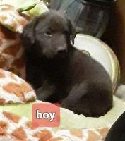 Labrador Retriever Puppies for sale in 579 Co Rd 814, Flat Rock, AL 35966, USA. price: NA
