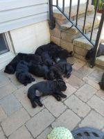 Labrador Retriever Puppies for sale in Salt Lake City, UT 84117, USA. price: NA