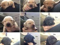 Labrador Retriever Puppies for sale in Prineville, OR 97754, USA. price: NA