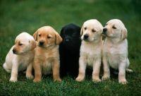 Labrador Retriever Puppies for sale in Alexandria, VA 22312, USA. price: NA