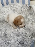 Labrador Retriever Puppies for sale in Harrisburg, PA, USA. price: NA