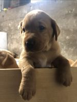 Labrador Retriever Puppies for sale in Manchester, CT, USA. price: NA