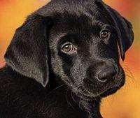 Labrador Retriever Puppies for sale in Lexington, SC, USA. price: NA
