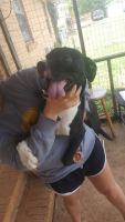 Labrador Retriever Puppies for sale in Hanceville, AL 35077, USA. price: NA