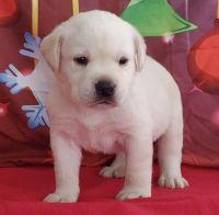 Labrador Retriever Puppies for sale in Miami, FL, USA. price: NA