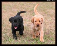 Labrador Retriever Puppies for sale in Walnut Creek, CA 94598, USA. price: NA