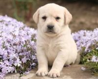 Labrador Retriever Puppies for sale in New Haven, CT, USA. price: NA
