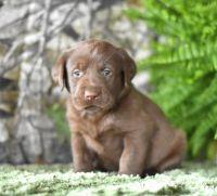 Labrador Retriever Puppies for sale in Honolulu, HI, USA. price: NA