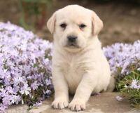 Labrador Retriever Puppies for sale in Lexington, KY, USA. price: NA