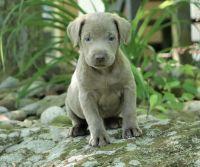 Labrador Retriever Puppies for sale in Portland, ME, USA. price: NA