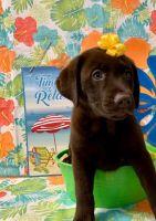 Labrador Retriever Puppies for sale in Boston, MA, USA. price: NA